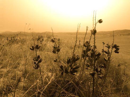 Yucca_Flower
